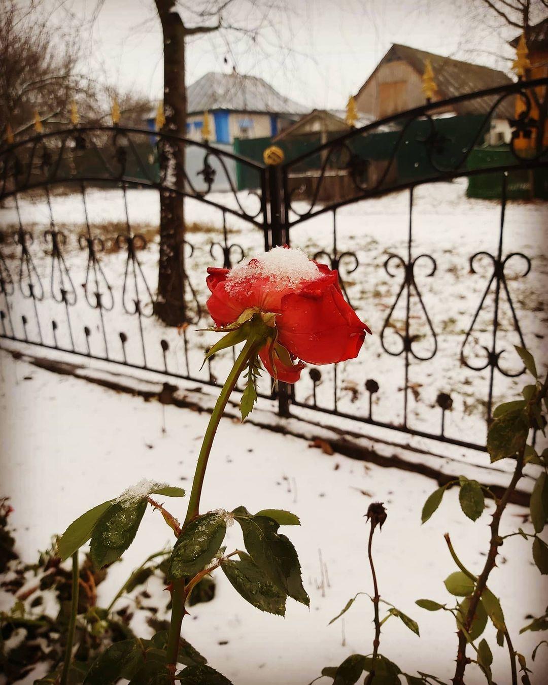 Цветы, припорошенные снегом: Украину «накрыла» зимняя сказка (ФОТО)