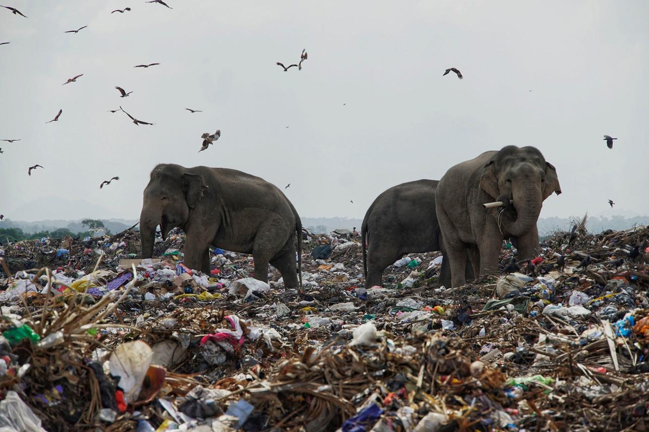 Слони на Шрі-Ланці харчуються сміттям