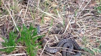 В Киеве заметили появление змей в местах пикников: появились фото опасных находок